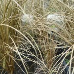carex bronze