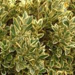 Euonymus japonica Aurea variegatа