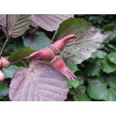 Лешник ( Corylus maxima Purpurea )