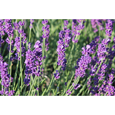 Лавандула ( Lavandula officinalis )