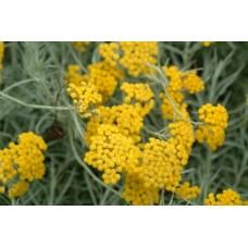 Къри (Helichrysum italicum)