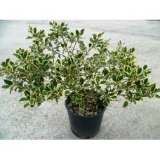 """Илекс (Ilex aquifolium """"Golden Queen"""")"""