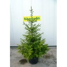Сръбски смърч (Picea omorica)