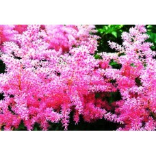 Астилбе (Astilbe arendsii Astary Rose)