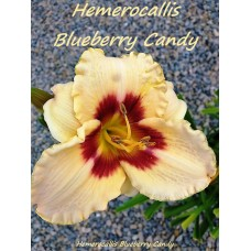 Хемерокалис (Hemerocallis Blueberry Candy)