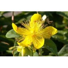 Хиперикум (Hipericum calycinum)