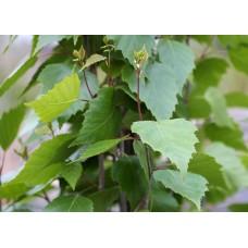 Бреза ( Betula pendula)