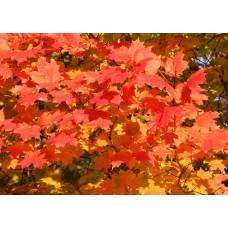 Явор (Acer pseudoplatanus)