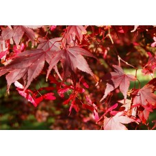 Японски клен (Acer pal. Atropurpureum)