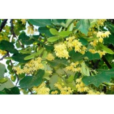Липа ( Tilia sp. )