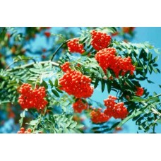 Офика (Sorbus aucuparia)