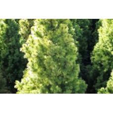 Джуджевиден смърч (Picea conica)