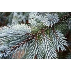 Сребрист смърч ( Picea pungens sp. )