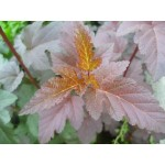 Физокарпус ( Physocarpus diablo )