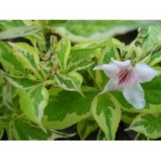 Вайгела  пъстролистна ( Weigela florida variegata)